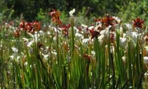 Pitcher Plants at Weeks Bay