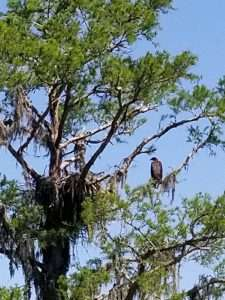 Baby eagle in Mobile Bay.