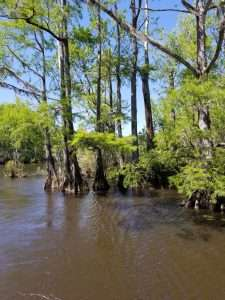 Cypress and tupelo trees in Mobile Bay.